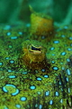   Peacock flounder RTRCuttlefish ringflash RTR-Cuttlefish RTR Cuttlefish  